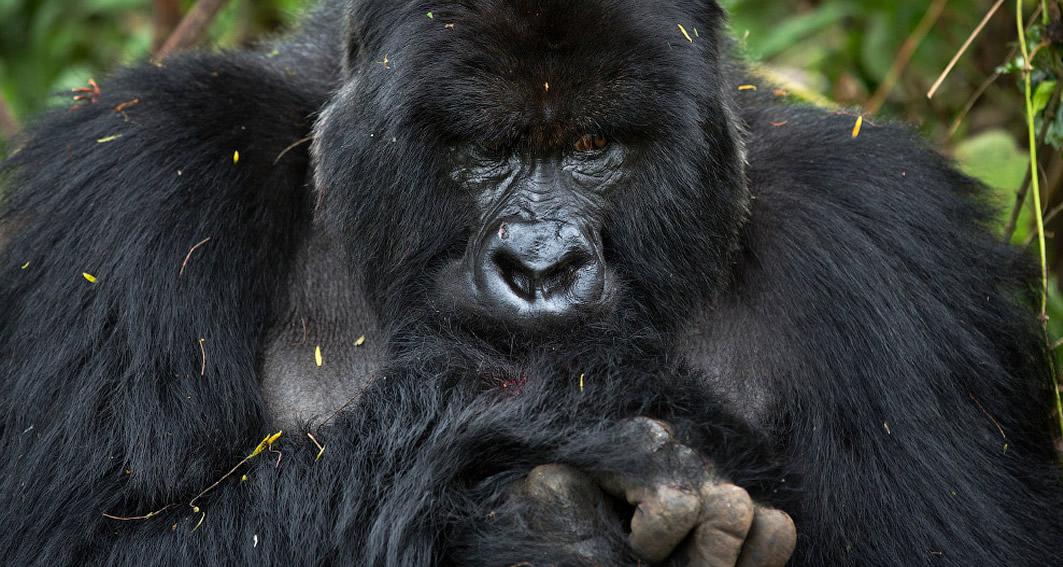gorilla-trekking-rwanda